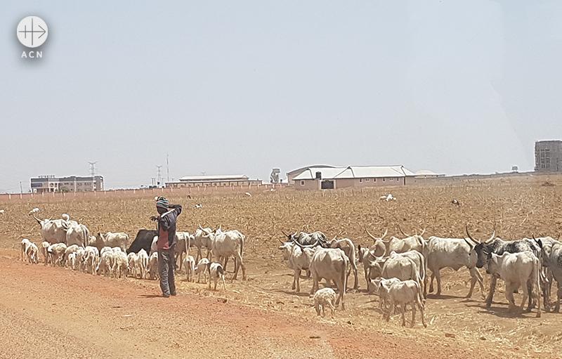 미들벨트의 조스와 카두나를 잇는 길에서 소를 모는 유목민 (출처=ACN자료사진)
